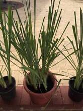 Lemon grass Big *HEALTHY & STRONG* 100% organic Waterford South Perth Area Preview
