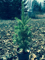 Potted Spruce Trees for sale