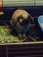 Female Holland Lop Bunny/ accessories, cage with play yard