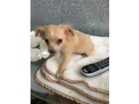 Kc reg chihuahua puppies from health tested parents