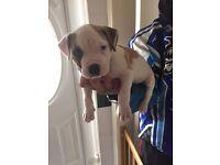 11 week old American bulldog puppy