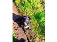 Missing Iolo Lab x Collie