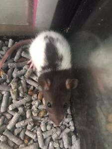 Gorgeous baby pet rats - males & females South Penrith Penrith Area Preview