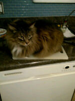 MISSING CAT - SMALL BROWN MAINE COON, WHITE CHEST