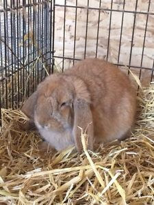 Young French lop doe for sale