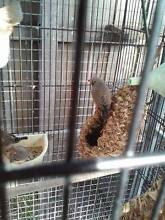 Pair grey zebra finches sell or swap for budgie/s Hampton Park Casey Area Preview
