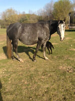 Registered Grey AQHA Mare for Sale
