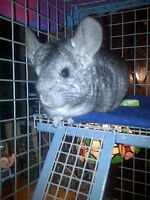 Chinchilla Looking for a New Home