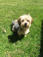 Puppy for sale! MORKIE (Maltese/Yorkshire) WITH CAGE