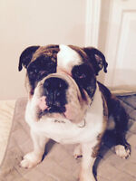 English Bulldog - Rehome only to professional trainer