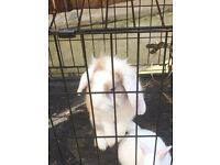 Bunny male for sale