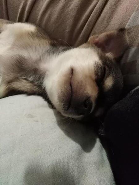 Pedigree Chihuahua Puppies 650 Each 2 Girls 1 Boy