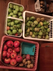 Tomatillos for sale