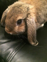 HOLLAND LOP BUNNY FOR SALE