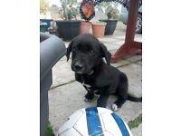 Labrador cross boxer puppies