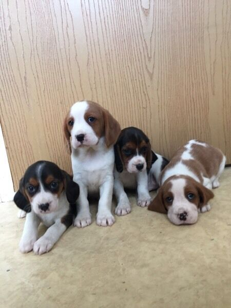 Cavalier x beagle puppies