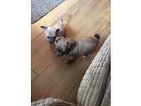 2 CHIHUAHUA Girl Puppies