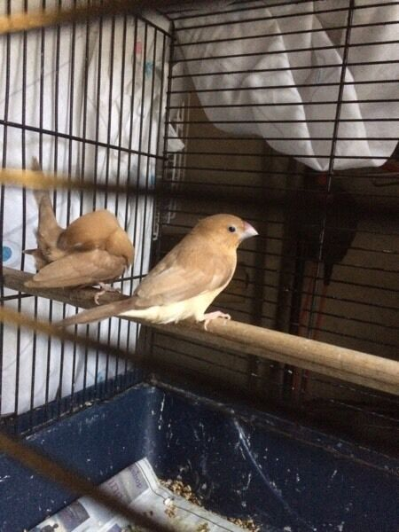 Silver bill Finch for sale