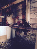 Breeding Trio Black Tail Buff Japanese Banty Chickens