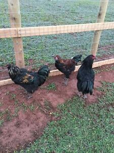 2 Easter Egger and 1 Ameraucana Rooster
