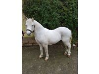 Tilly 11.1hh Welsh Section A