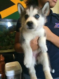 LOOKING FOR HUSKY BREEDER IN NORTH YORK. MY DOG IS BEING STOLEN.