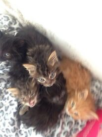 Five kittens 2 chocolate and 2 tabbies