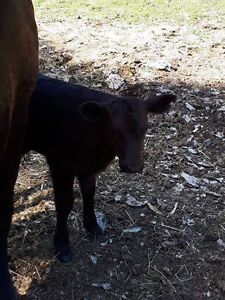 2017 calf for sale