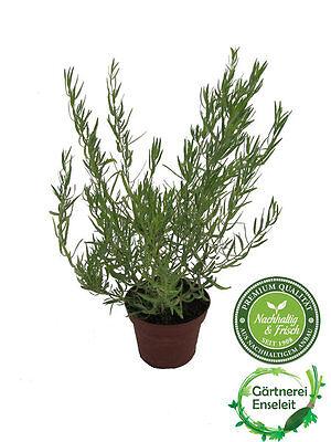 Französischer Estragon, Pflanze, Pfefferkorn, Artemisia dracunculus,frischer Est