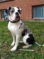 Rare Alapaha Blue Blood Bulldogs ~ ABBA Reg'd & DNA Profiled