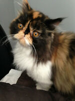 Tortie Persian Female Kitten for adoption