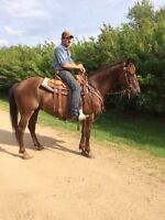 Well broke chestnut gelding