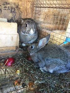 Last bunch of bunnies and rabbits for sale