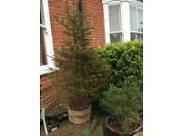 Free! Potted Christmas tree