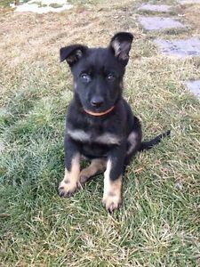 Purebred German Shepherd Pups