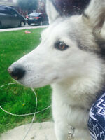 Beautiful Husky looking for forever home