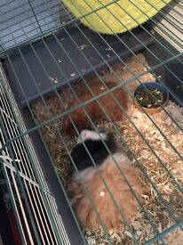 Two guinea pigs with cage, hay, bale of sawdust and more