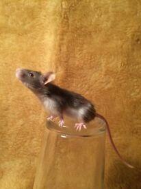 Female fancy mice