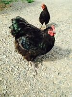 Black & Blue English Orpington Rooster and Hen