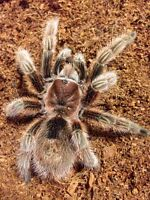 Loving Tarantula home