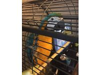 Blue and gold female macaw
