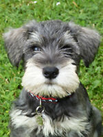 Young Miniature Schnauzer to Adopt