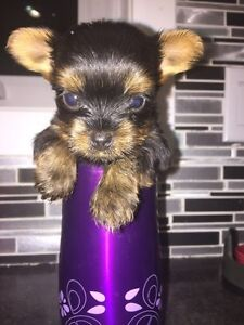 Tea Cup Yorkshire Terrier Puppies for Sale