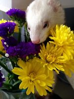 Goji, an amazing ferret!