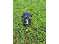 Labrador cross rott Wiler puppies