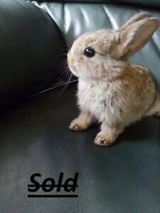 Baby bunnies Regents Park Auburn Area Preview