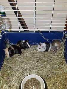Guinea pigs/ hamsters/rats