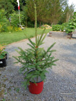 "Pine trees for sale - white spruce - 24 to 28"" tall"