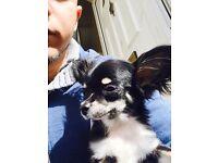 Chihuahua extra mini