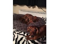 Gorgeous red DACHSHUND puppies for sale!